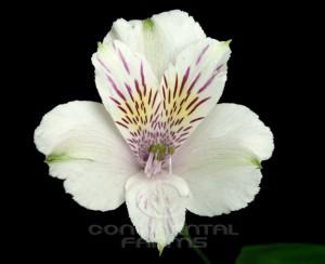 Alstroemeria Himalaya
