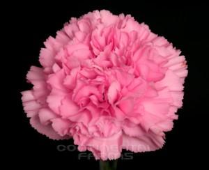 Carnation Kaori