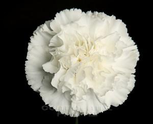 Carnation Moonlight