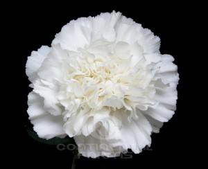 Carnation Northwind