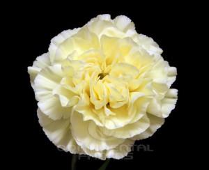 Carnation Polimnia