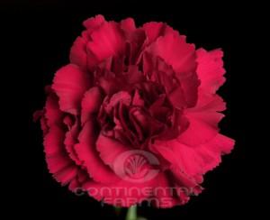 Carnation Zurigo