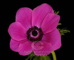 Anemone Fuchsia