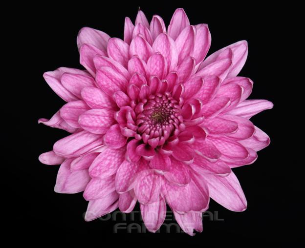 Daisy atlantis pink continental farms cushion candor pink mightylinksfo