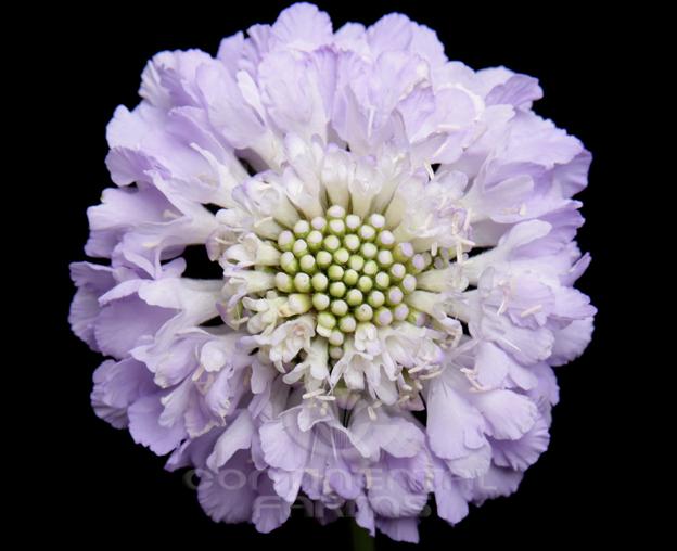 scabiosa lavender scoop