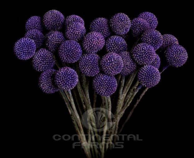 Craspedia Globosa Painted Purple   Continental Farms   624 x 508 jpeg 83kB