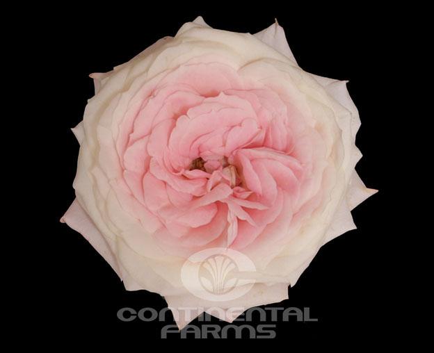 Roses In Garden: Mayra's Bridal Pink
